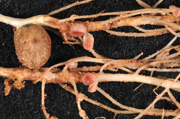 Close up picture of peanut nodules