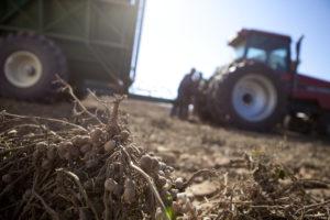 arkansas peanut harvest